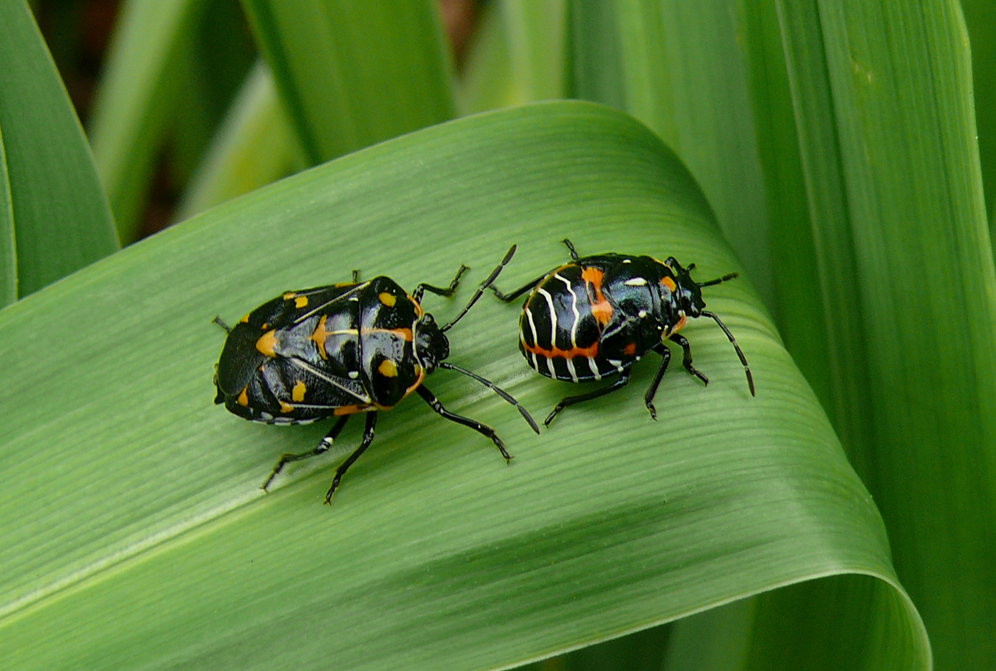 This is harlequin cabbage bug, not a tick