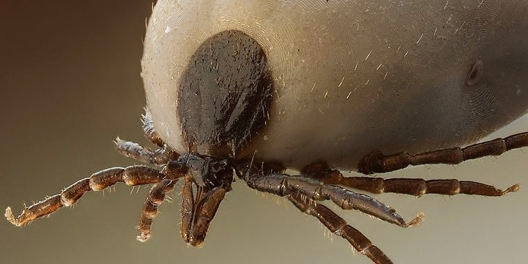 Depending on the tick species and its stage of life, preparing to feed can take from 10 minutes to 2 hours.