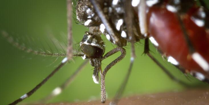 aedes-mosquito.jpg