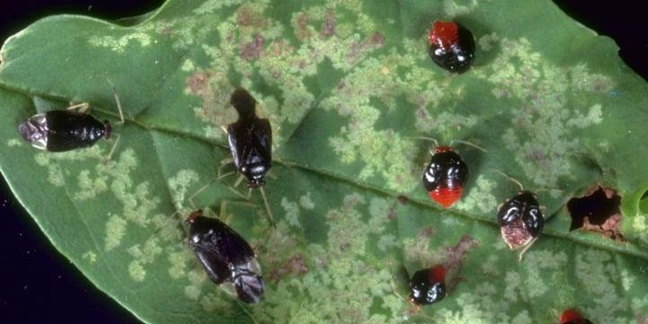 Ash plant bugs sort of look like ticks too