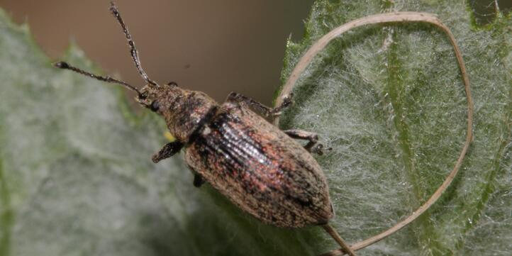 The common weevil is harmless compared to ticks