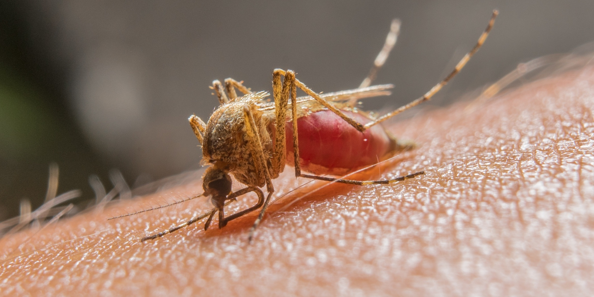 A mosquito using its proboscis.