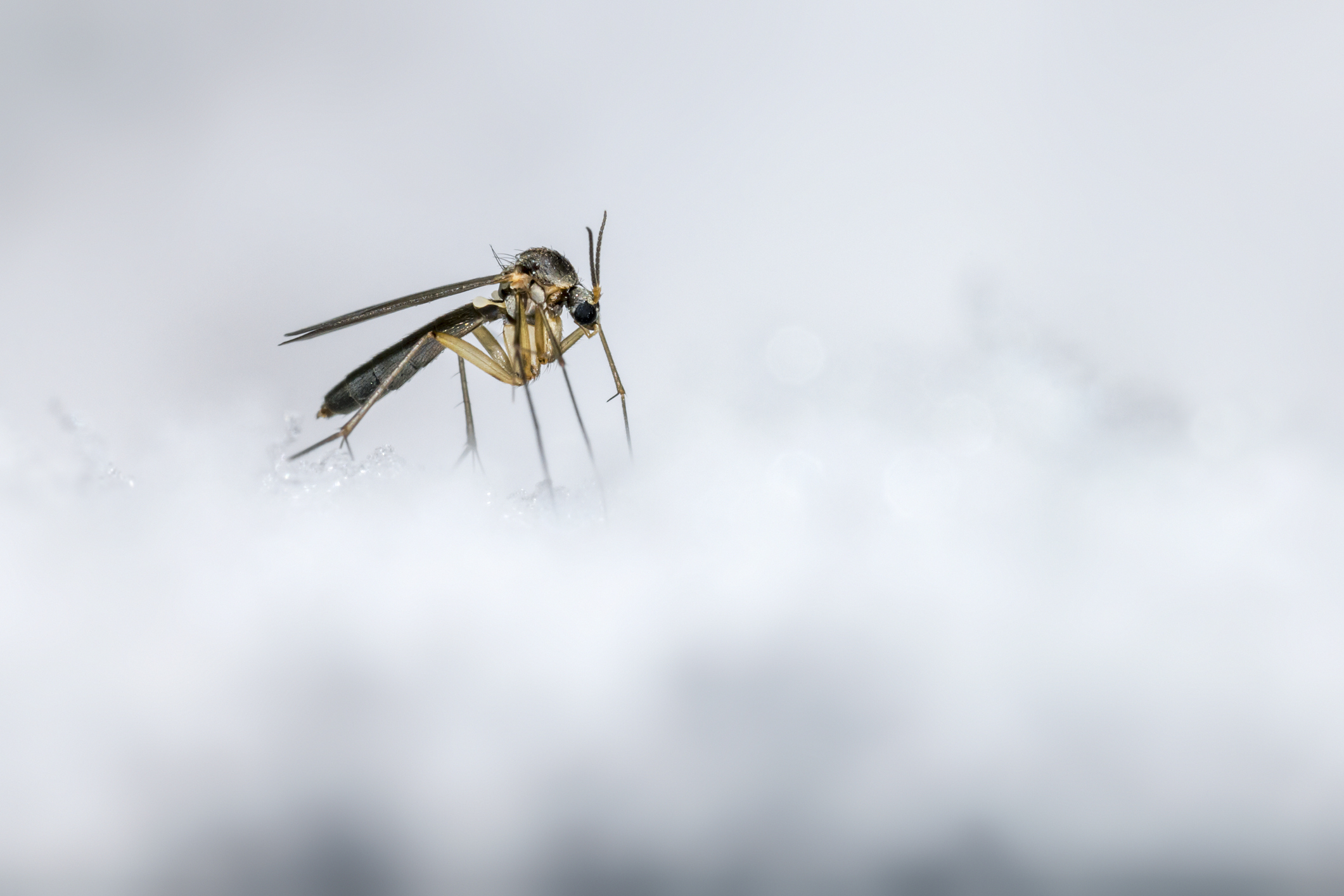 Many mosquitoes species go dormant in winter.