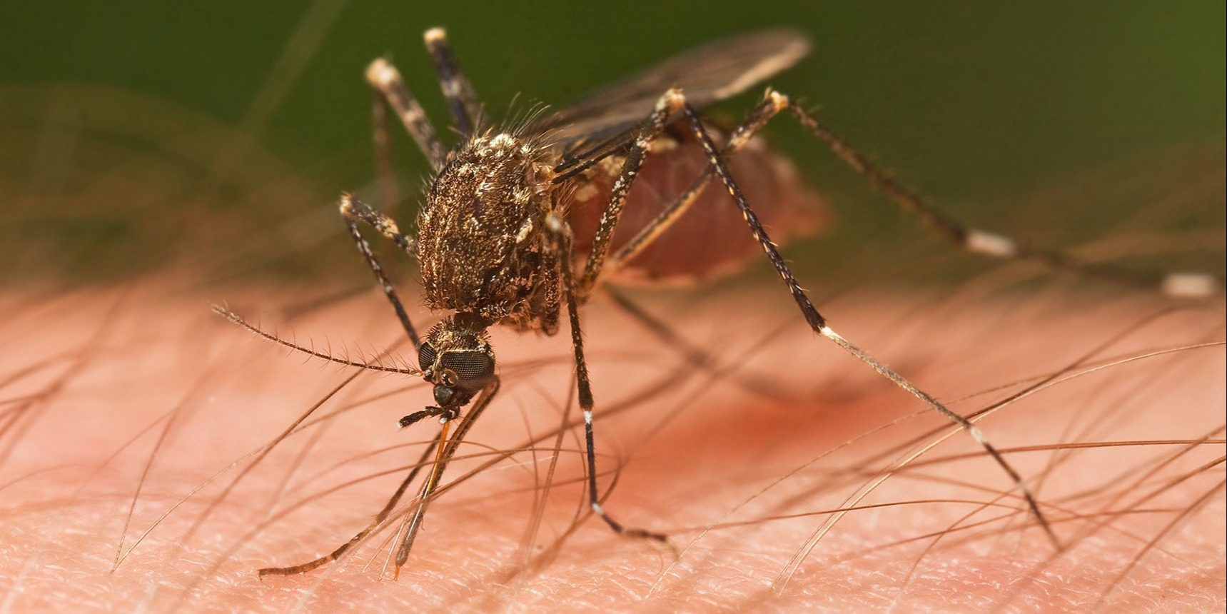 When thefemale mosquitobites, she uses a needle-like mouth part called a proboscis.