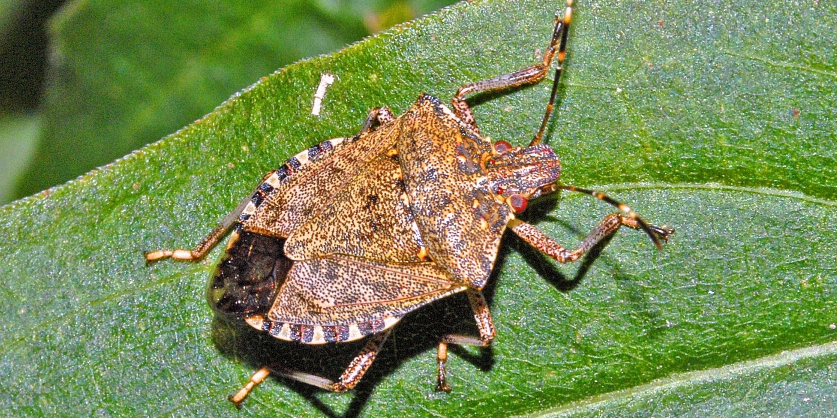 Stink Bug is another tick look-alike