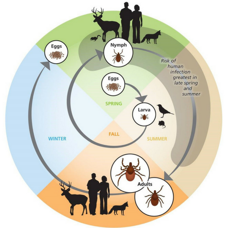 Ticks have 4 life stages; egg, larvae, nymph, and adult.