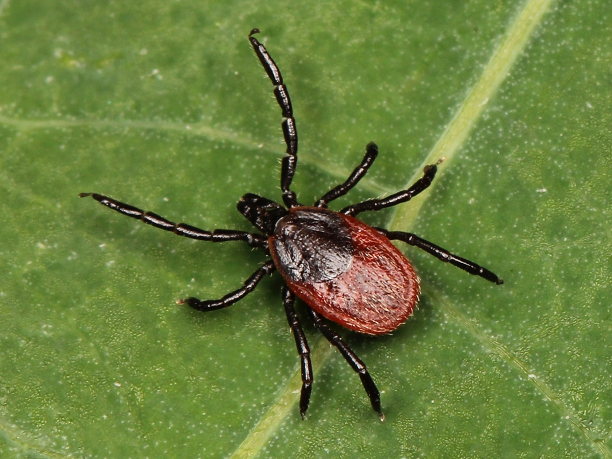 There are over 40 species of Ticks found across Canada.