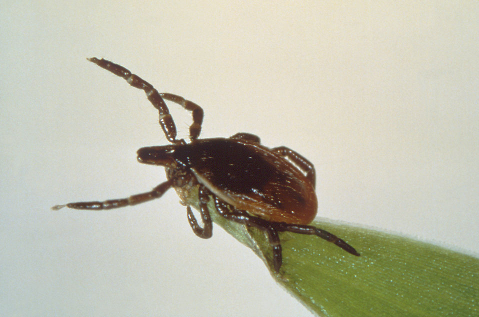 However, ticks can be found anywhere with ample foliage - including residential areas and city parks.