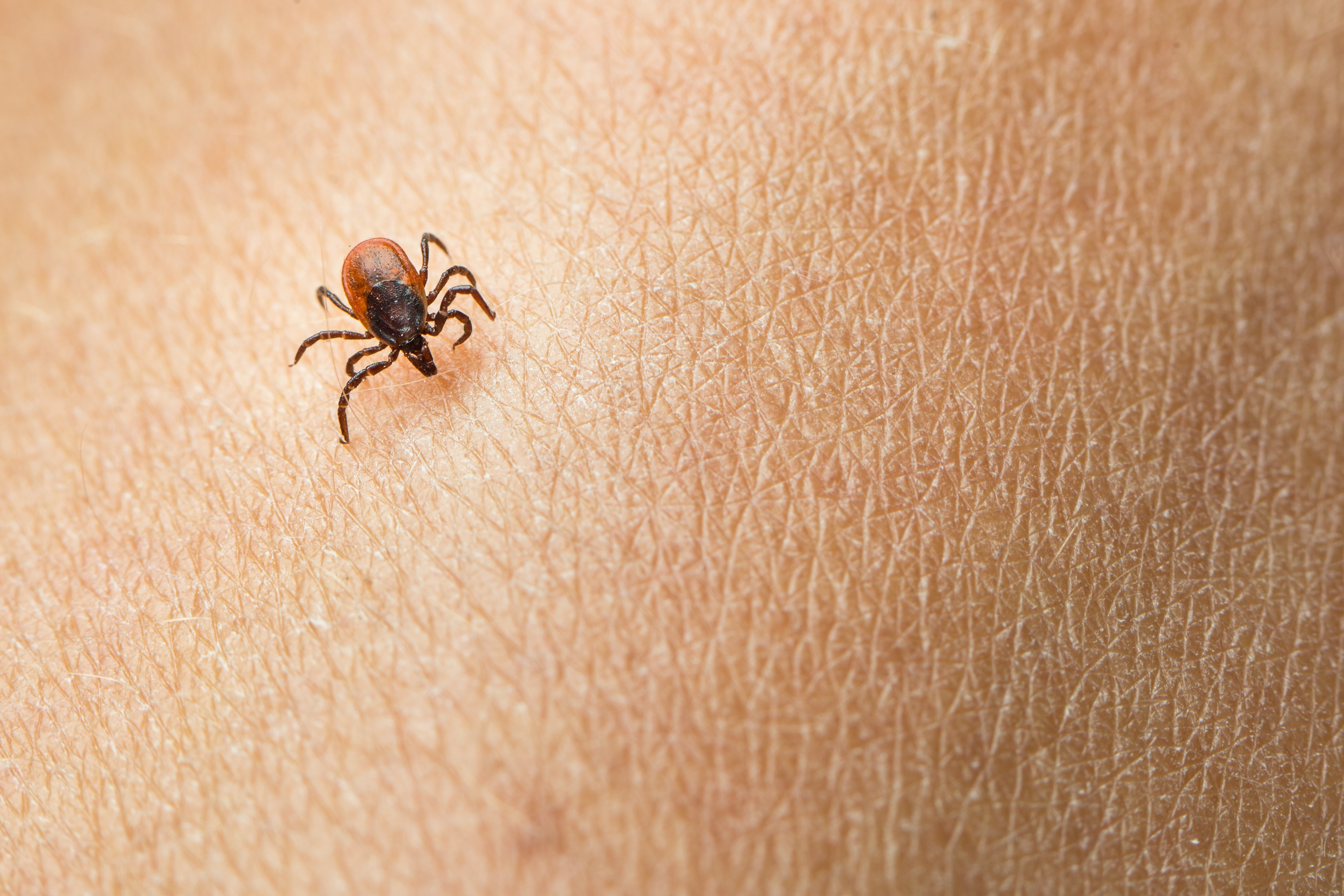 While ticks can be active all year round, they are most common in spring and fall.