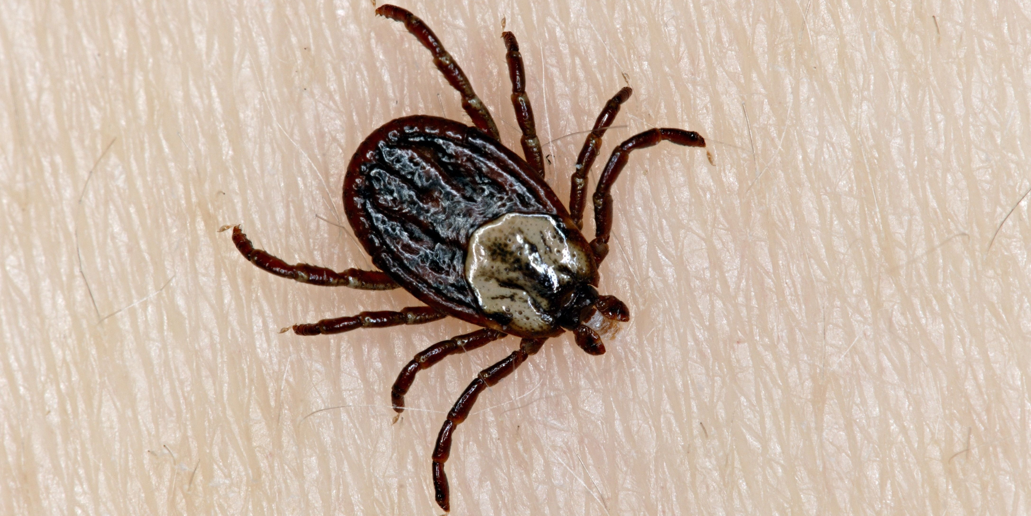 "Ticks are known as ""hard ticks"" because both the males and females have a hard plate covering their backs."