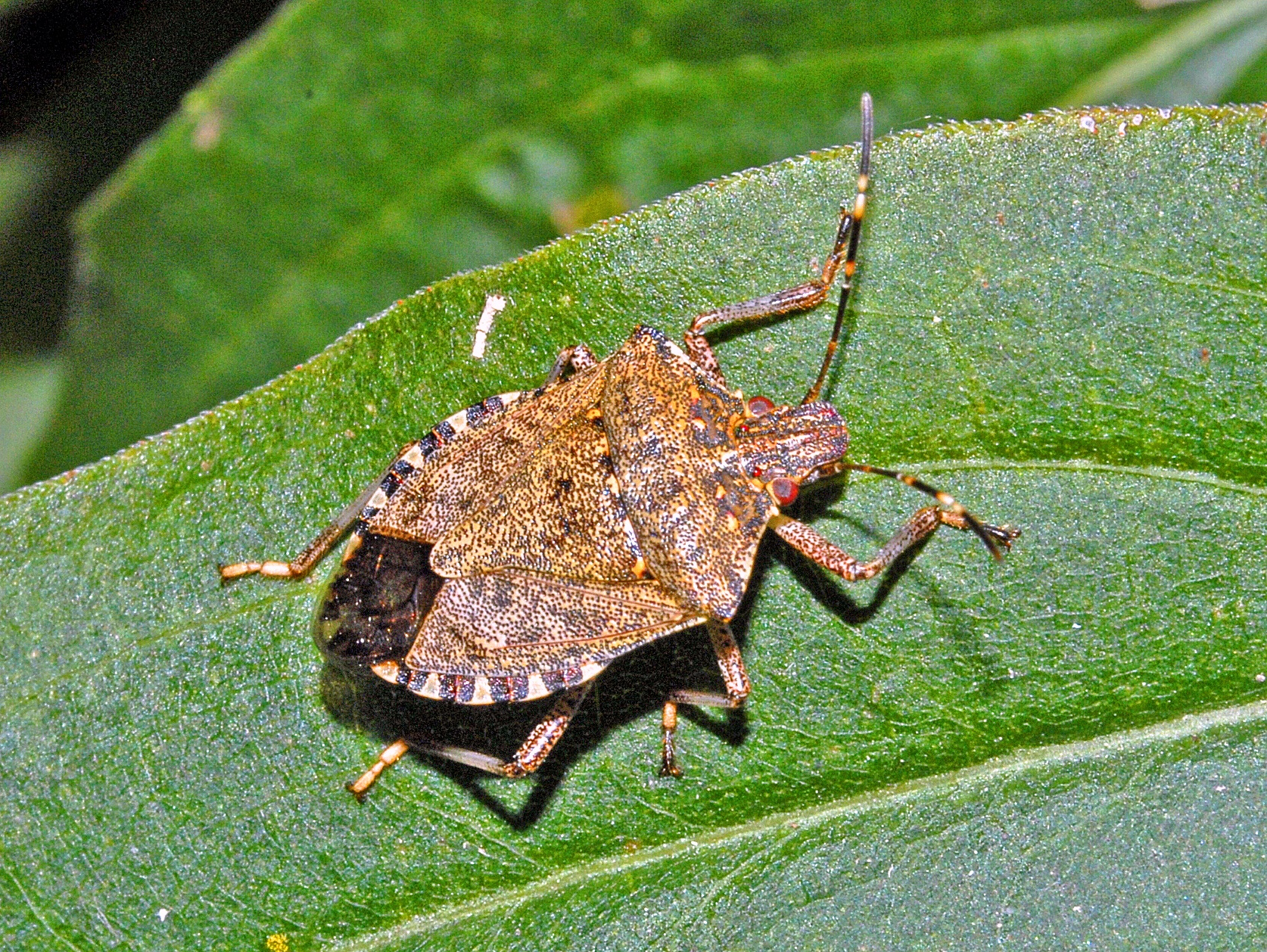 Stink Bug header-1.jpg
