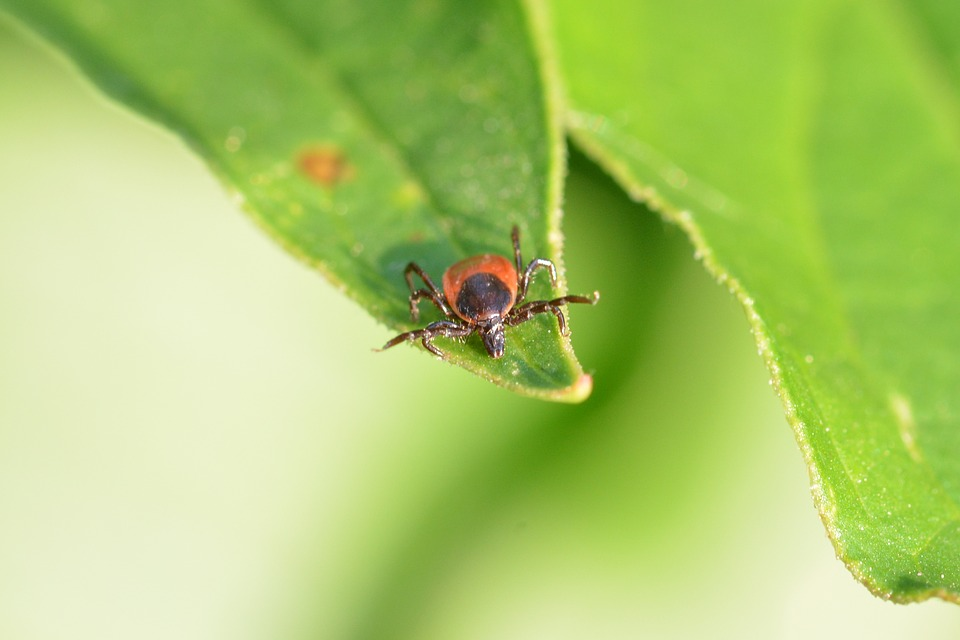 How Ticks Transmit Lyme Disease - Featured Image
